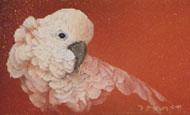 Maggie - My six year old mollucan cockatoo